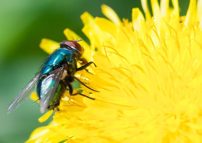 #Biodiversidad: Aunque no lo creas, las moscas también ayudan a la polinización y son vitales para producir frutas y verduras