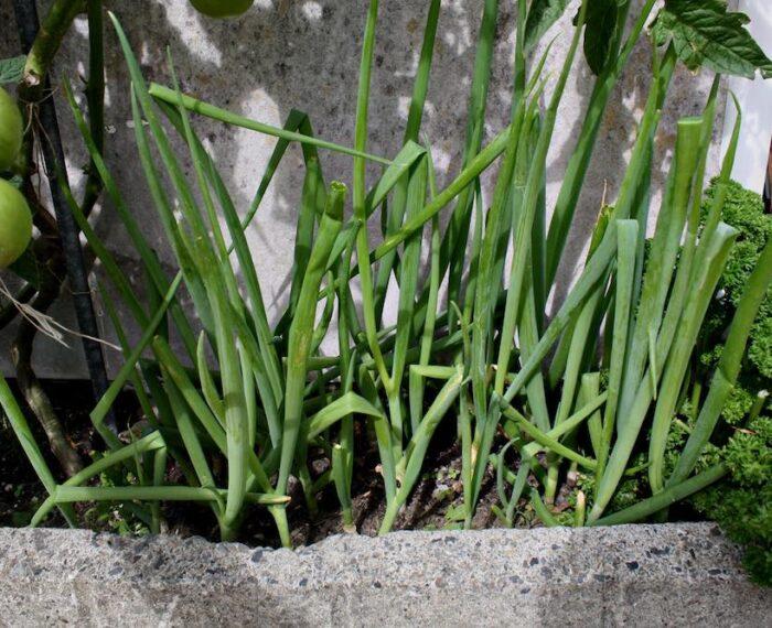 #CosasQueHacenBien: Cómo cultivar tus cebollas sin semilla y en maceta