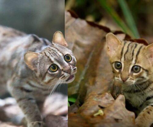 #Biodiversidad: Nacen 2 crías del casi extinto gato salvaje y le da esperanza a la especie