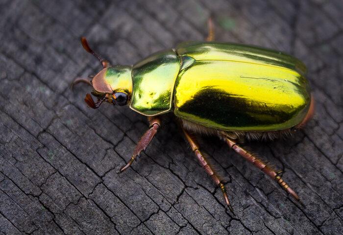 #Biodiversidad: El estiércol de un dinosaurio mantuvo oculta una nueva especie de escarabajo durante millones de años