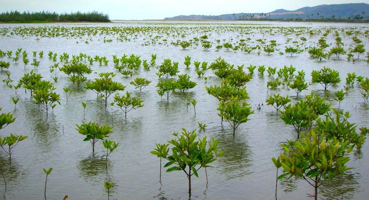 #Biodiversidad: 100 mil personas trabajan en la plantación de manglares más grande del mundo